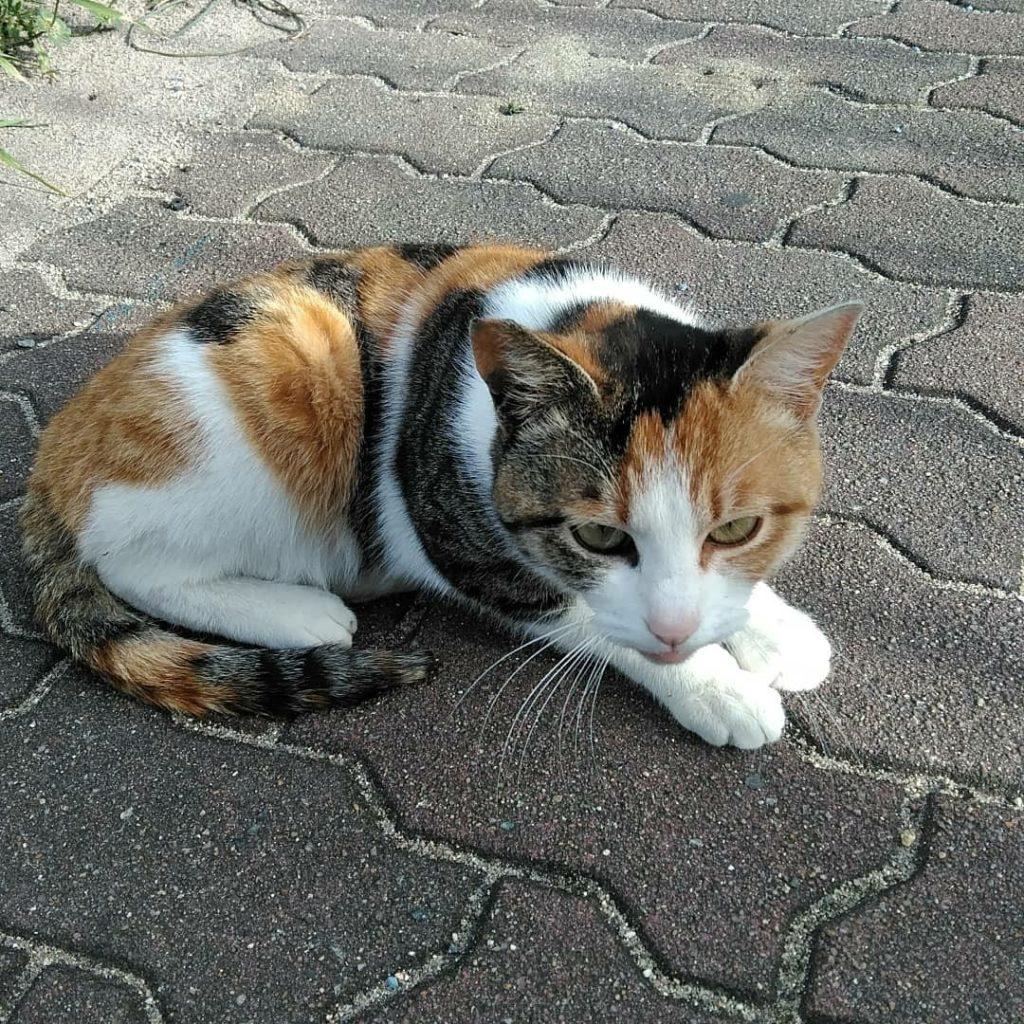 道で出会った三毛猫ちゃん