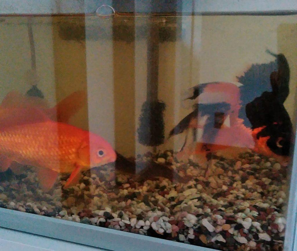 金魚・熱帯魚のお世話も受け付けています