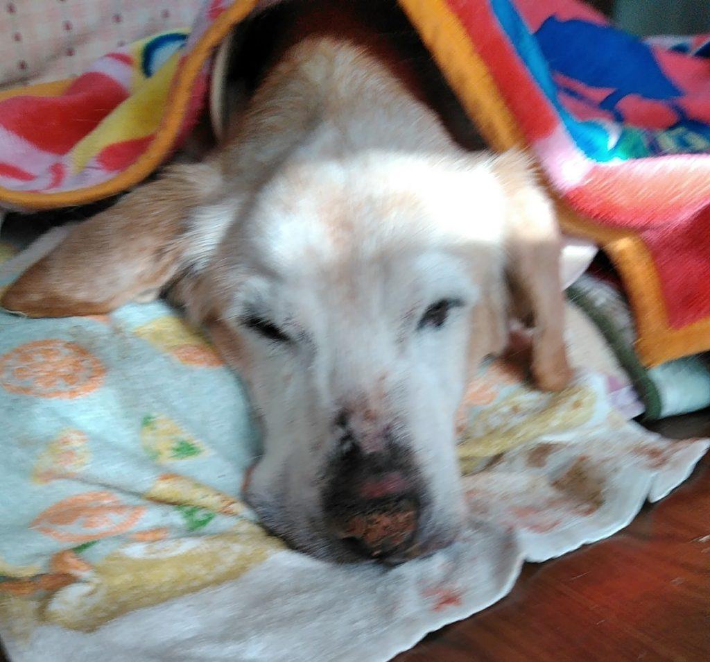 16歳の長寿犬ピースちゃん